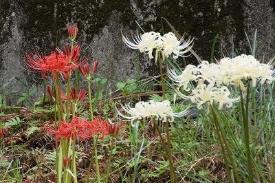 9/15(水)紅白の彼岸花が咲いてます